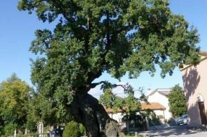 [Italian Tree of the Year: la quercia di Villanova si aggiudica il 2° posto]