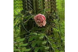 [L'ultima rosa di una specie scomparsa sopravvive nel bosco di Alvisopoli]